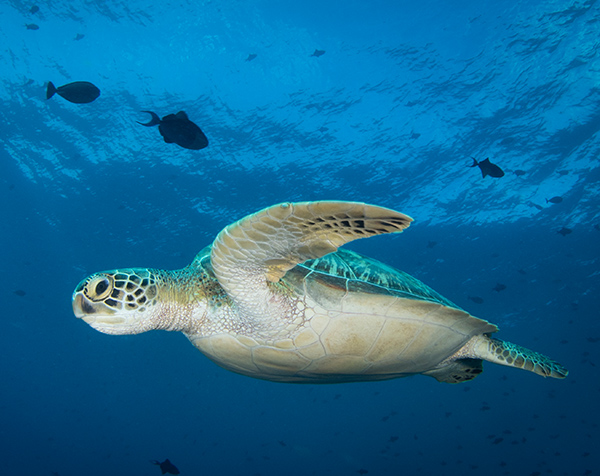 Diving with endangered green sea turtles on Maratua island